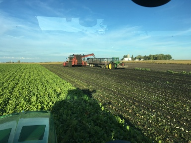 Sugarbeet harvest