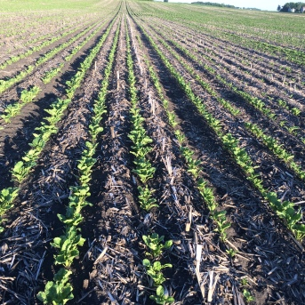 Strip tilled sugarbeets